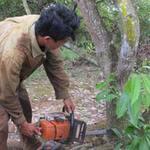 Thị trường - Tiêu dùng - Chặt nát vườn điều để trồng cao su