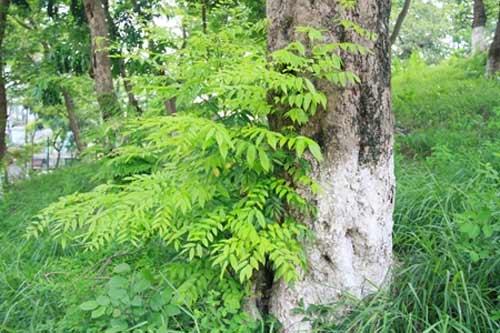 Vờ ôm nhau dưới gốc cây để cưa trộm sưa - 2