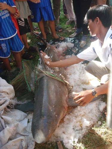 Cá mập 80kg mắc lưới ngư dân - 1