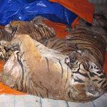Tin tức trong ngày - Cuộc truy đuổi xe hơi chở thịt 3 con hổ