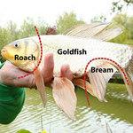"""Phi thường - kỳ quặc - Chú cá kỳ lạ mang gen """"thập cẩm"""""""