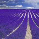 Du lịch - Nước Pháp tháng 6 – rợp trời lavender