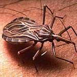 """Sức khỏe đời sống - """"Bệnh AIDS mới của châu Mỹ"""" do bọ xít hút máu"""