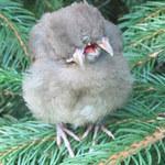 Phi thường - kỳ quặc - Chú chim 2 đầu, 3 mỏ kỳ lạ