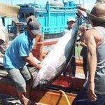 Thị trường - Tiêu dùng - Trúng đậm cá ngừ đại dương