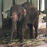 Tin tức trong ngày - Voi đực 1 ngà vườn thú Thủ Lệ đã chết