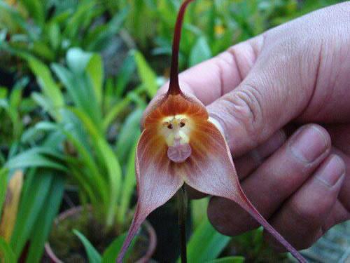 Bông hoa có hình mặt khỉ - 1