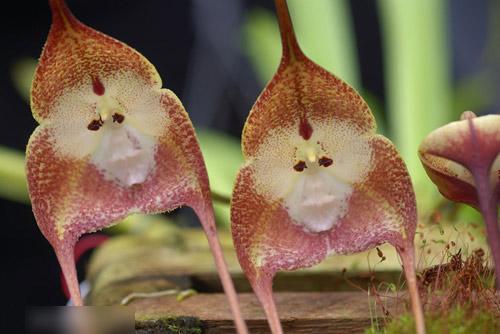 Bông hoa có hình mặt khỉ - 3