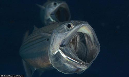 Loài cá trong suốt ma quái ở Biển Đỏ - 2