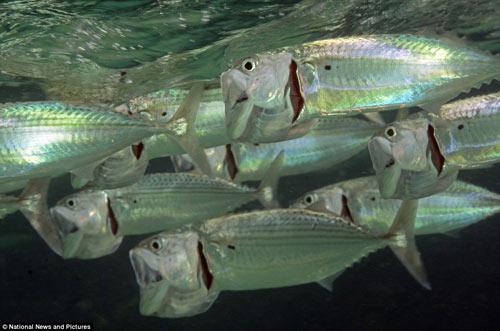 Loài cá trong suốt ma quái ở Biển Đỏ - 5
