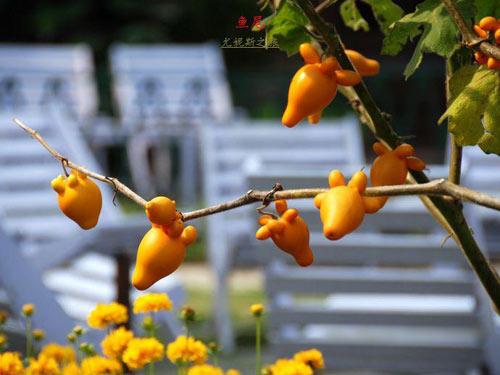 """Quả """"nhũ hoa"""" kỳ lạ tại Nepal - 2"""