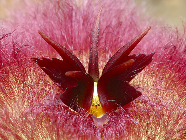 11. Hnh nh phng to ca loi hoa Stapelia hirsuta sng  Koppieskraal, Laingsburg, Nam Phi.