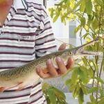 Tin tức trong ngày - Bắt được cá vảy rắn, đầu cá sấu ở Khánh Hòa