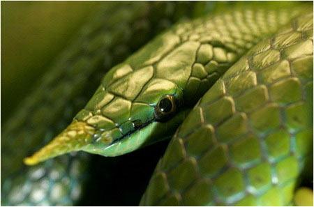 Cận cảnh loài rắn có sừng kỳ bí của VN - 10