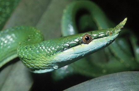 Cận cảnh loài rắn có sừng kỳ bí của VN - 3