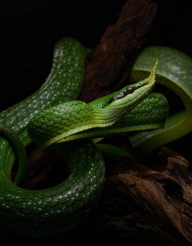 Cận cảnh loài rắn có sừng kỳ bí của VN - 5