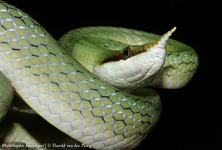 Cận cảnh loài rắn có sừng kỳ bí của VN - 6