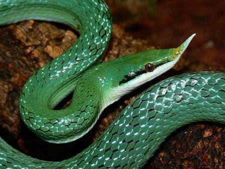 Cận cảnh loài rắn có sừng kỳ bí của VN - 8