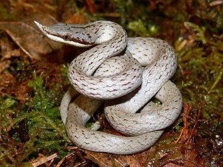 Cận cảnh loài rắn có sừng kỳ bí của VN - 9