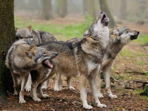 Thụy Điển: Bầy sói vồ chết nhân viên sở thú - 2