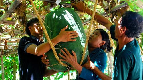 Bí đao khổng lồ ở Việt Nam - 3