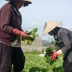 Thị trường - Tiêu dùng - Thương lái mua cả rau vừa trồng