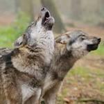 Tin tức trong ngày - Thụy Điển: Bầy sói vồ chết nhân viên sở thú