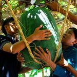 Phi thường - kỳ quặc - Bí đao khổng lồ ở Việt Nam
