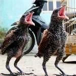 Phi thường - kỳ quặc - Đôi chim lạ mỗi ngày ăn hết 1kg thịt lợn