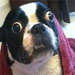 Phi thường - kỳ quặc - Chú cún lập kỷ lục thế giới vì mắt to
