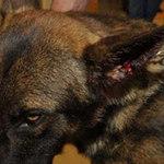 Tin tức trong ngày - Mỹ: Bị người cắn, chó nghiệp vụ đi… cấp cứu