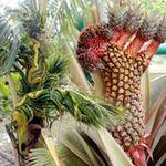 Phi thường - kỳ quặc - 9 cây, quả kỳ lạ nhất Việt Nam
