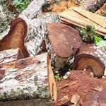 Tin tức trong ngày - Phá rừng nghiến Ba Bể: Cục Kiểm lâm vào cuộc