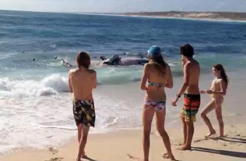 Hàng trăm con cá mập hổ xâu xé xác cá voi - 1