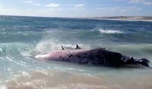 Hàng trăm con cá mập hổ xâu xé xác cá voi - 3