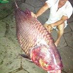 Tin tức trong ngày - Bắt được cá hô nặng 130kg