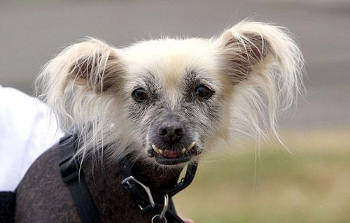 Tưng bừng cuộc thi chú chó xấu nhất thế giới - 13
