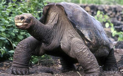 Loài rùa khổng lồ Galapagos đã tuyệt chủng - 1