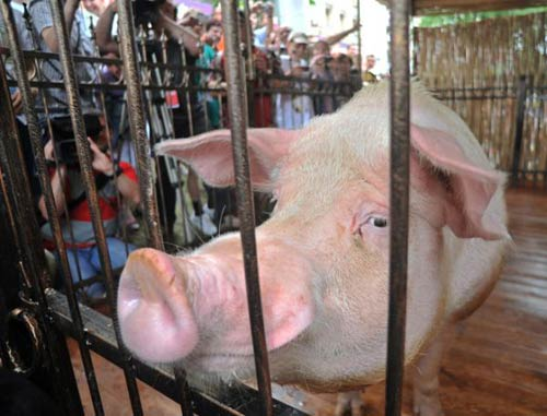 """Đoán sai, """"lợn tiên tri"""" có nguy cơ bị thịt - 1"""