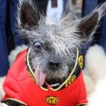 Phi thường - kỳ quặc - Tưng bừng cuộc thi chú chó xấu nhất thế giới