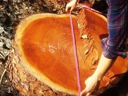 """Xẻ thịt rừng nghiến: """"Đá"""" trách nhiệm - 4"""