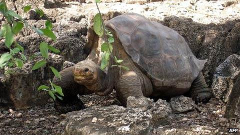 Rùa khổng lồ Galapagos sẽ được ướp xác - 1