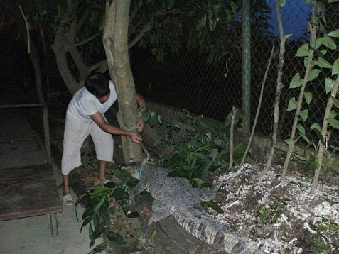 Độc chiêu: Dùng cá sấu trông cây sưa - 1