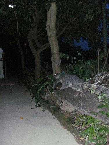 Độc chiêu: Dùng cá sấu trông cây sưa - 2