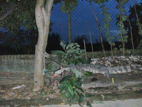 Độc chiêu: Dùng cá sấu trông cây sưa - 4