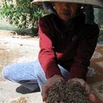 Thị trường - Tiêu dùng - Quảng Ngãi: Cào tép kiếm tiền triệu