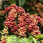 """Thị trường - Tiêu dùng - Cà phê Việt đang bị """"chê"""" đắt"""