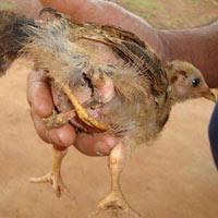 Đổ xô về Đắk Nông xem con gà kỳ dị