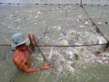 Giá cá tra xuất khẩu tăng, dân vẫn lỗ - 1