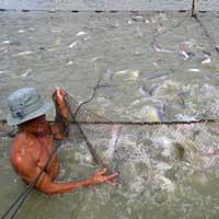 Giá cá tra xuất khẩu tăng, dân vẫn lỗ